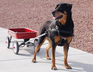 Dog Cart Harness - Dog Pulling Harness - Leather Dog Harness -H5