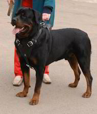 dog harness for Rottweiler