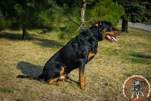 Handcrafted leather Rottweiler collar for walking