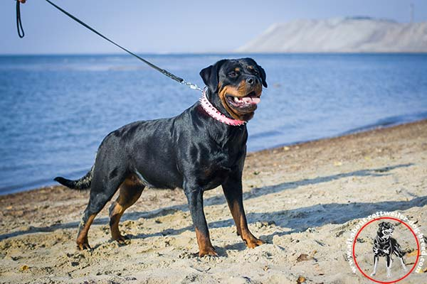 Handmade leather Rottweiler collar