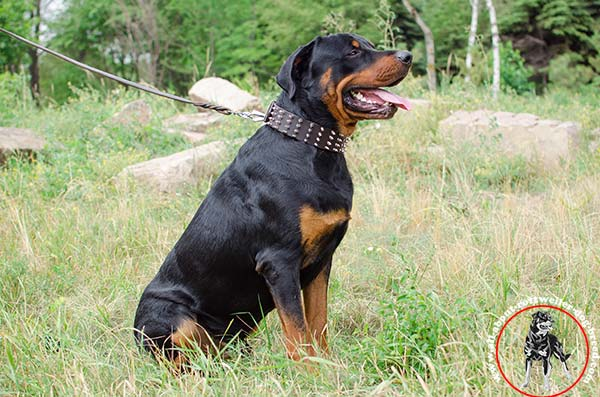 Wide leather Rottweiler collar with spikes
