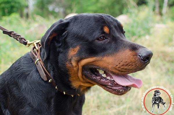 Designer leather Rottweiler collar with brass plated spikes