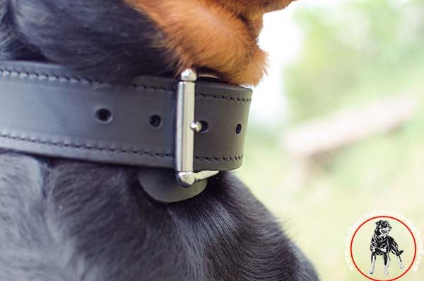 Leather Rottweiler collar with massive buckle