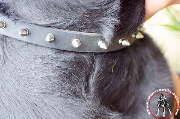Leather Rottweiler collar with shiny nickel plated spikes