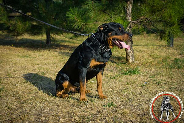 Reliable leather canine collar for Rottweiler
