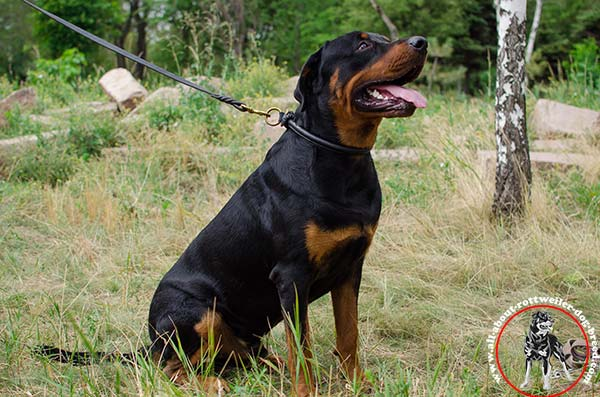 Stitched rounded leather choke collar for Rottweiler