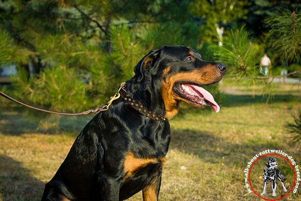 Classical leather dog collar for Rottweiler