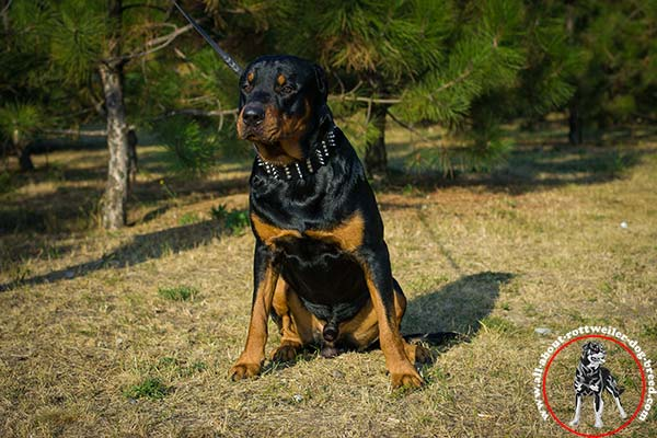 Comfortable leather dog collar for Rottweiler