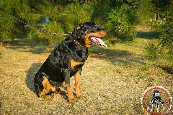 Posh leather dog collar for Rottweiler