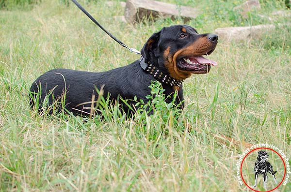 Dog safe leather dog collar for Rottweiler