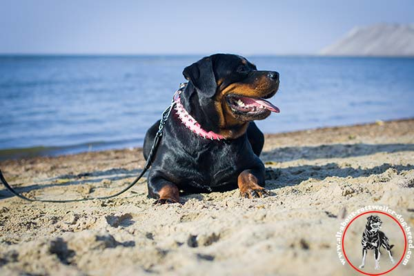 Stylishly adorned leather dog collar for Rottweiler
