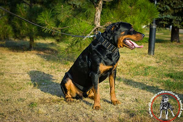 Leather dog collar for Rottweiler with riveted spikes and half-spheres