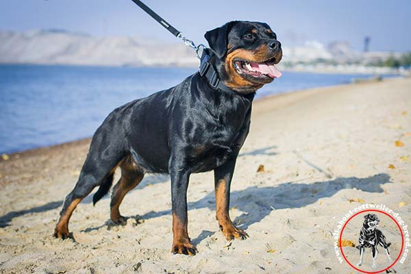 All-weather nylon Rottweiler collar