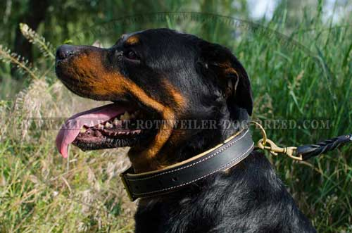 Incredible Rottweiler Breed Padded Leather Collar