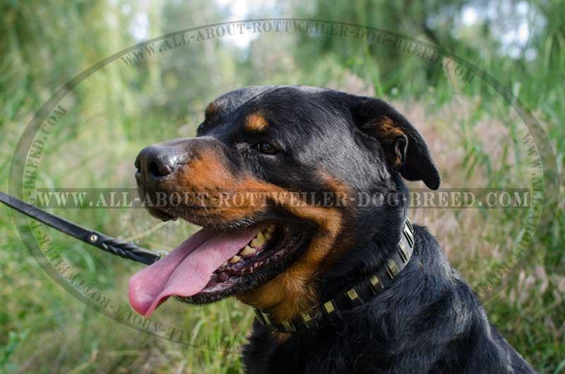 Buy Leather Rottweiler Walking Collar Nickel Plates