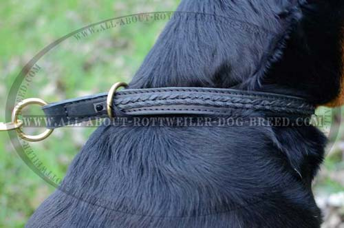 Close up of Rottweiler Dog Leather Choke Collar