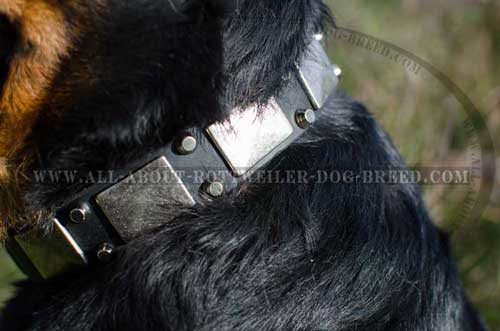 Rottweiler Dog Exclusive Leather Collar with Plates