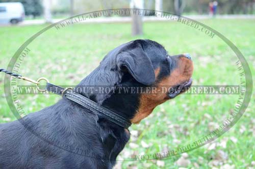 Rottweiler wearing Leather Dog Choke Collar