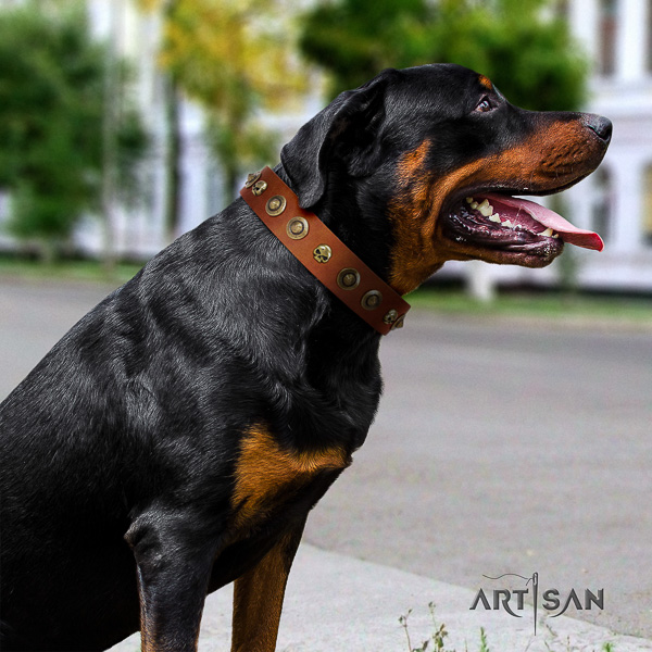 Rottweiler comfortable wearing leather collar for your handsome doggie