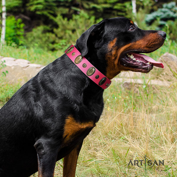 Rottweiler comfortable wearing genuine leather collar for your handsome pet