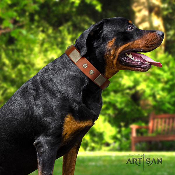 Rottweiler comfy wearing leather collar for your attractive four-legged friend