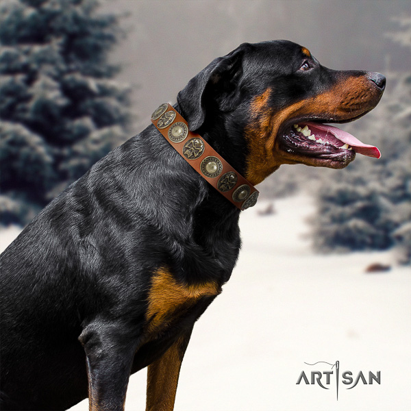 Rottweiler comfortable wearing full grain natural leather collar for your impressive dog