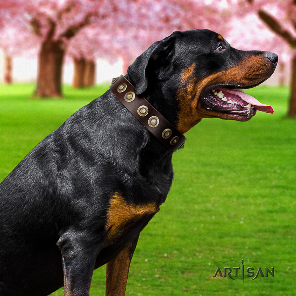 Rottweiler comfortable wearing leather collar for your attractive dog