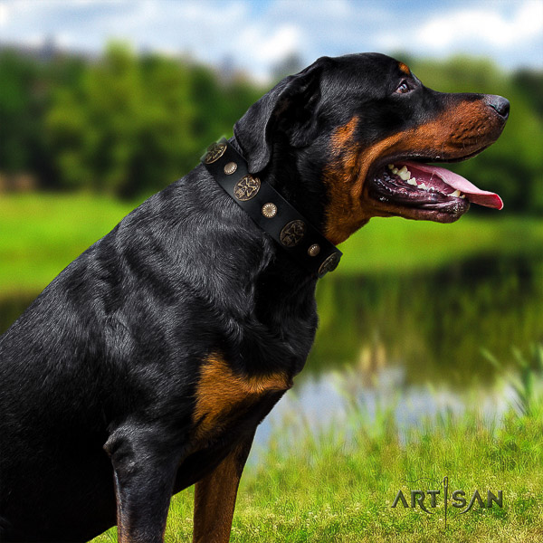 Rottweiler comfy wearing full grain natural leather collar for your attractive doggie