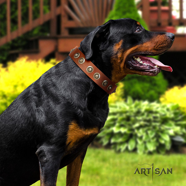 Rottweiler comfy wearing full grain leather collar for your lovely doggie