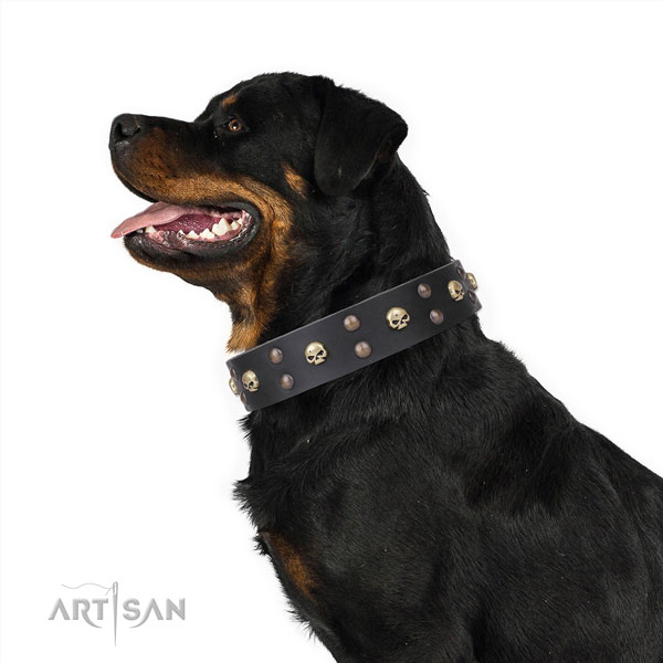 Rottweiler studded full grain natural leather dog collar for walking