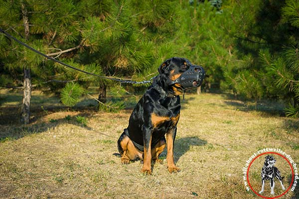 Rottweiler black leather collar with corrosion resistant fittings for-walking