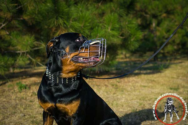 Rottweiler black leather collar wide adorned with spikes and studs  better-comfort