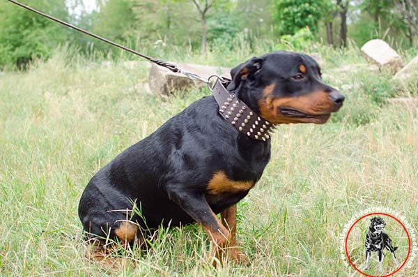 Rottweiler brown leather collar of high quality with d-ring for leash attachment for stylish walks