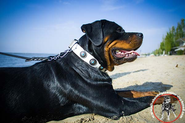 Decorated white leather Rottweiler collar