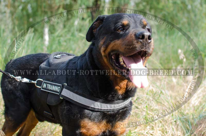how to properly train a rottweiler