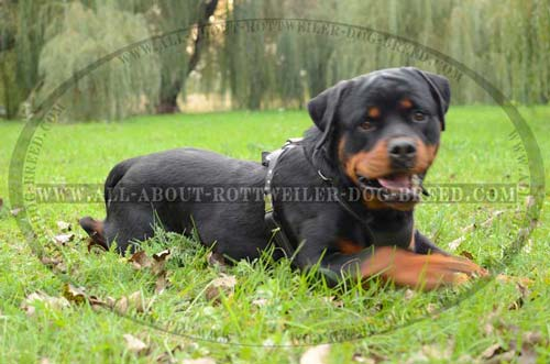 Comfortable Rottweiler Leather Dog Harness