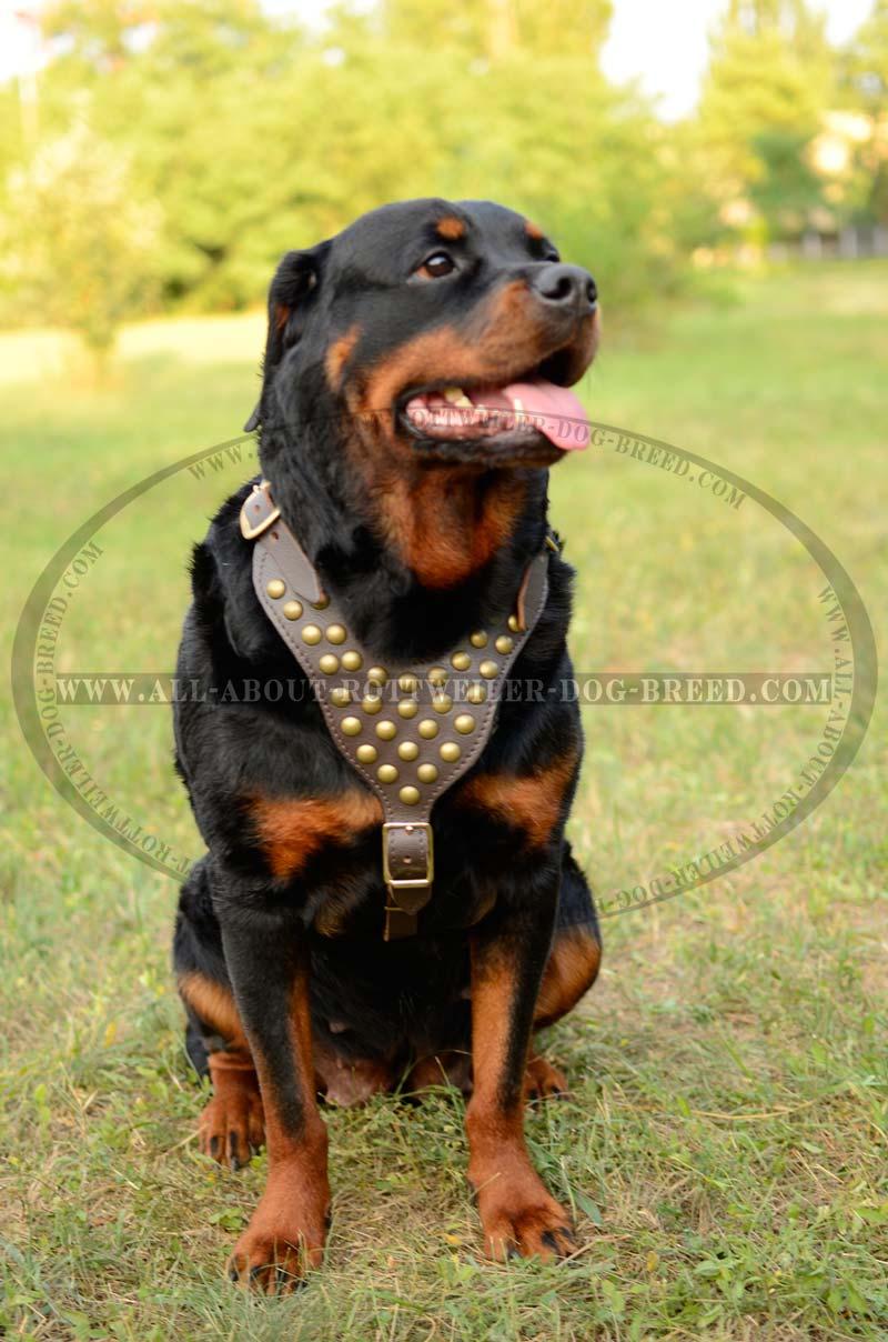 Order Rottweiler Br Studded Harness   Genuine Leather