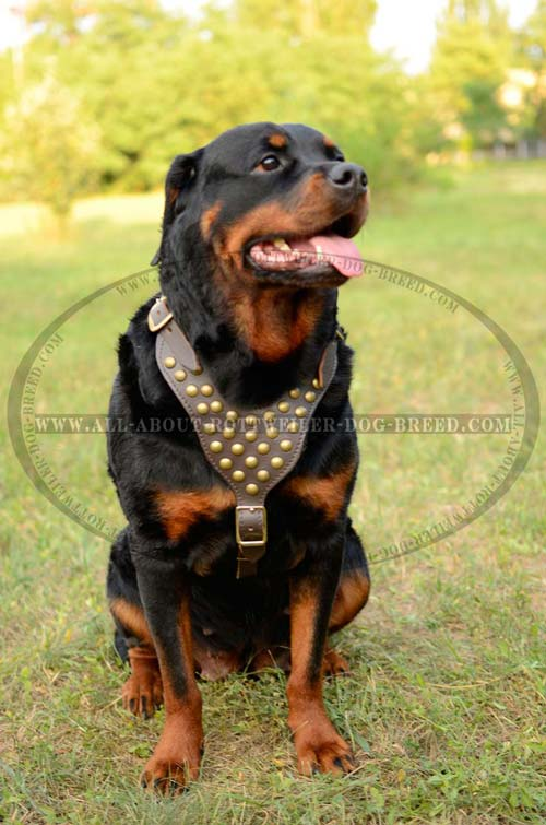 Elegant Leather Rottweiler Harness