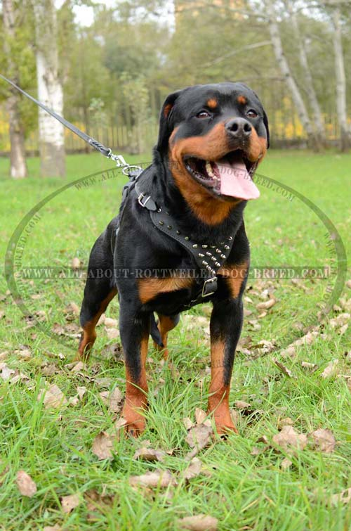 Exclusive Rottweiler Dog Leather Harness