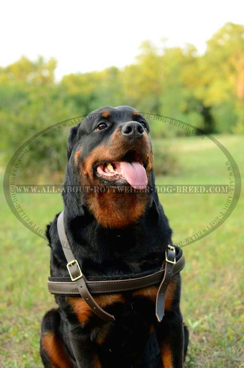 Reliable Leather Dog Harness for Rottweiler Training and Pulling