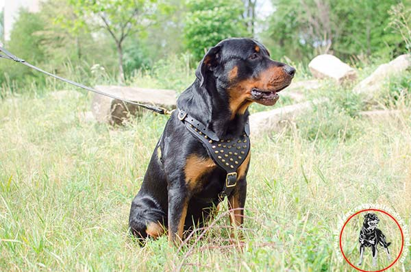 Rottweiler leather-harness padded with spikes daily-activity