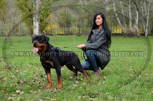 Excellent Rottweiler Leather Harness