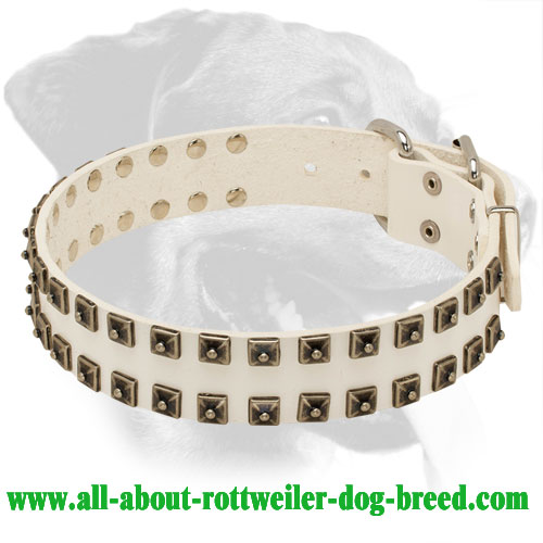 White Leather Rottweiler Collar with Brass Studs