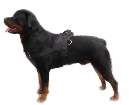 Dog Rottweiler Training For many dogs  their training