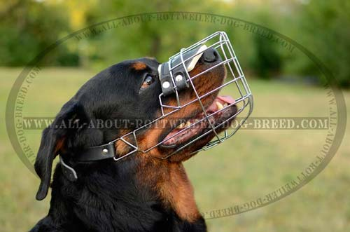 Rotty wearing Wire Cage Muzzle