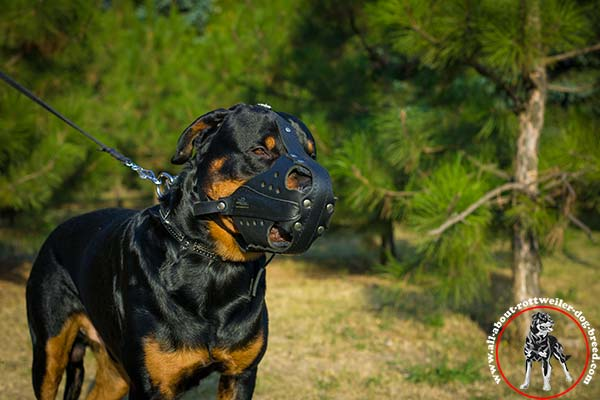 Multitasking leather dog muzzle for Rottweiler