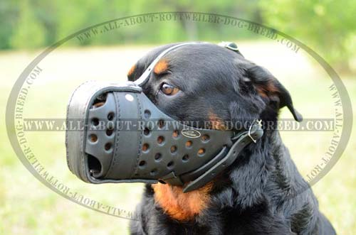 Rottweiler wearing Strong Muzzle