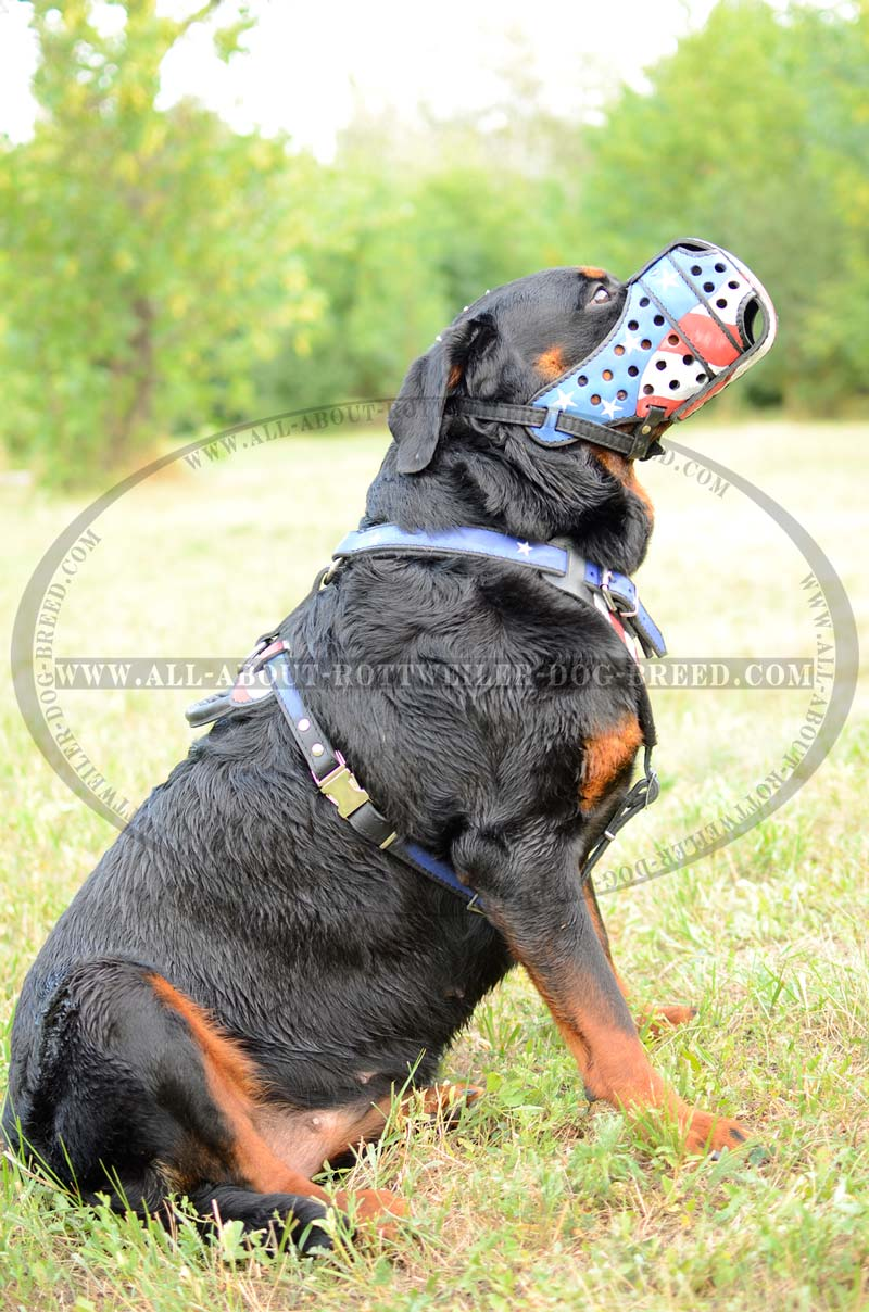 Order Painted Leather Rottweiler Walking Muzzle   USA Flag   Attack