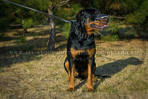 Rottweiler wire-basket-muzzle reliable nickel-plated-hardware perfect-control