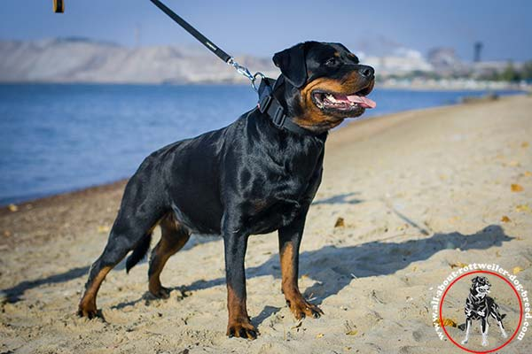 Rottweiler nylon leash with rustless nickel plated hardware for tracking